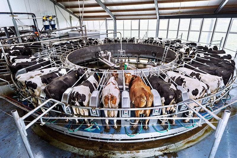 Автодоилка на 100 коров
