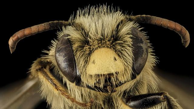 care este legenda albinei