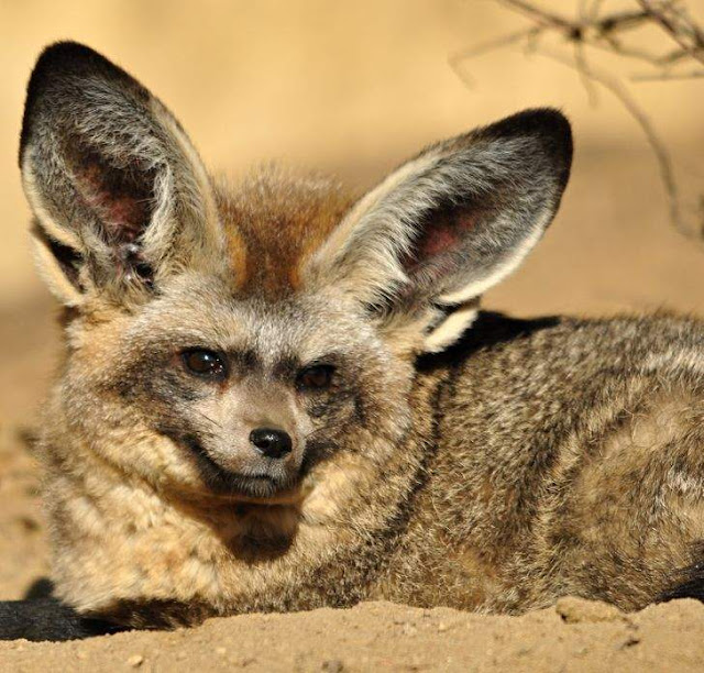 الثعلب خفاشي الأذنين