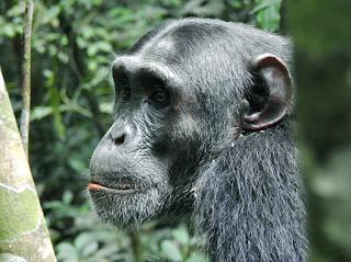 1 Day Ngamba Island Excursion Tour , gorilla trekking , tracking ,Rwanda, Uganda , Chimanzees, ngamba island accommodation,ngamba island facebook
