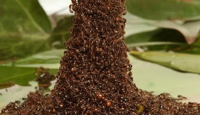Semut Bisa Membangun Menara dari Tubuh Mereka Sendiri