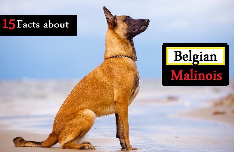ماذا تعرف عن كلب مالينوا؟ - أهم 15 سؤال وجواب قبل شراء جرو مالينوا