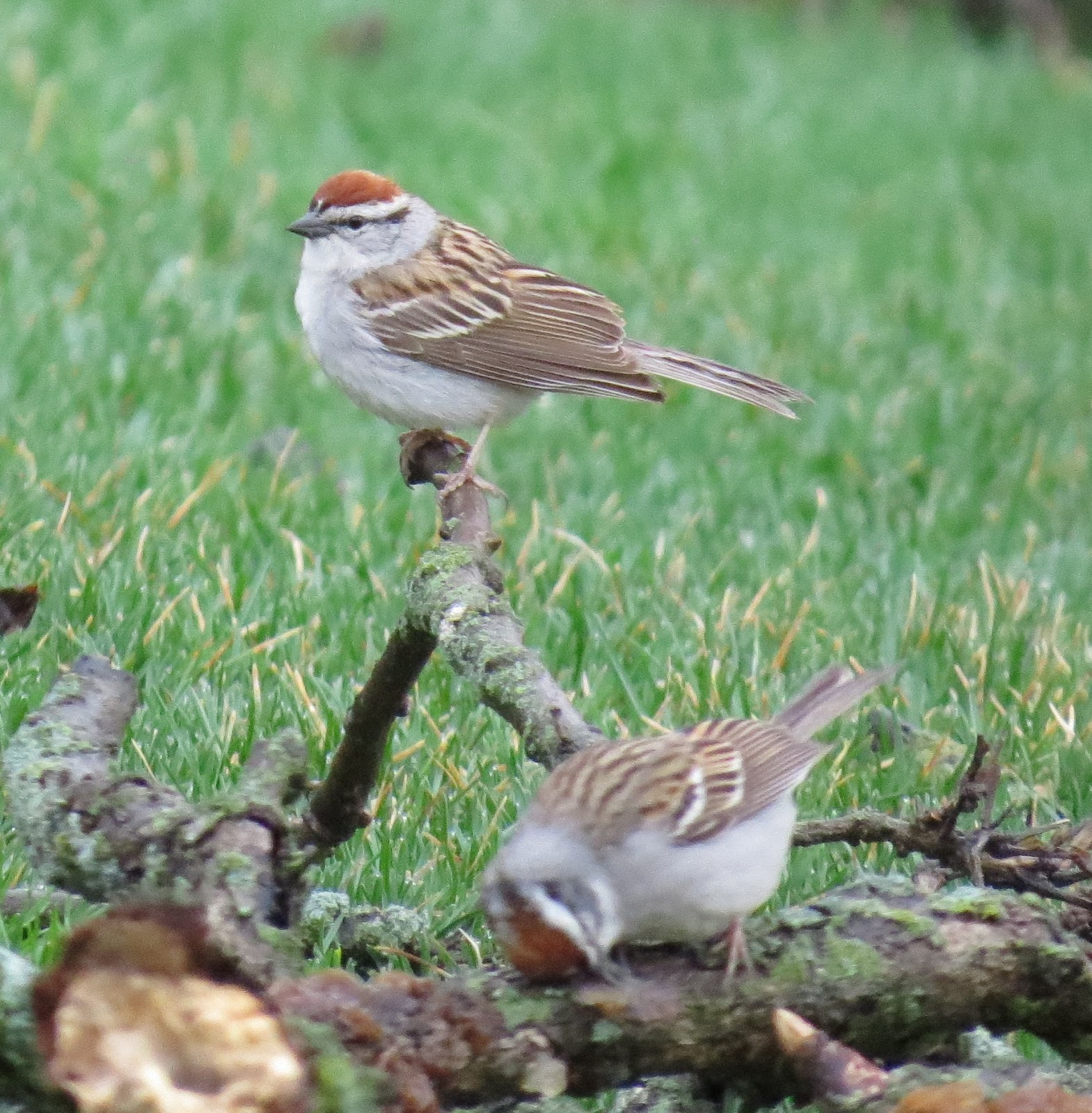 LGBs Nature Photos Chipping Sparrows