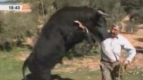 Resultado de imagen de Machote, un toro de lidia