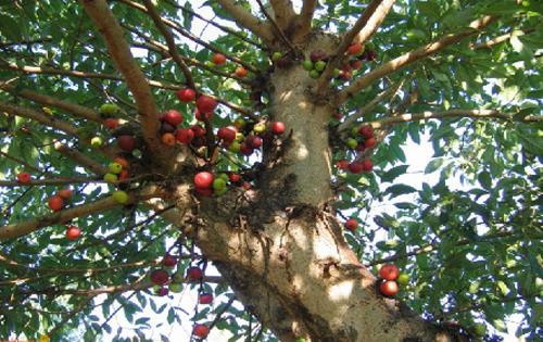 Ciri Ciri Pohon Loa