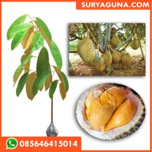 Bibit Durian Duri Hitam Asli