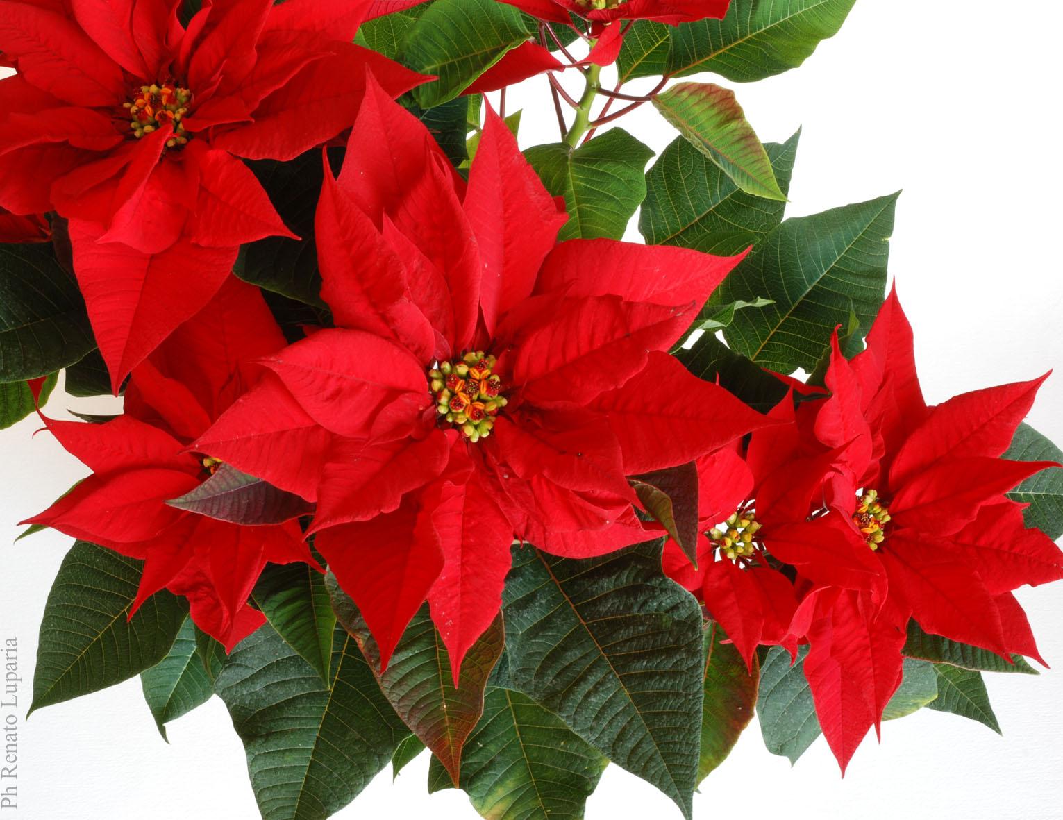 Airc Stella Di Natale.La Stella Di Natale Di Nadia Presotto E Renato Luparia