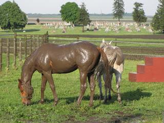 La boue, protection naturelle des chevaux !
