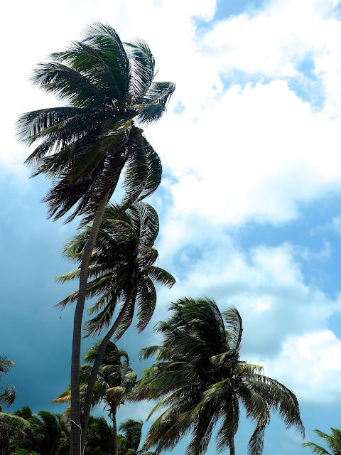 Palm trees in the wind on Caye Caulker, Belize