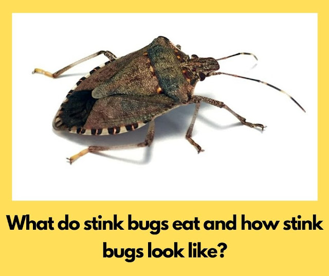 What do stink bugs eat and how stink bugs look like?