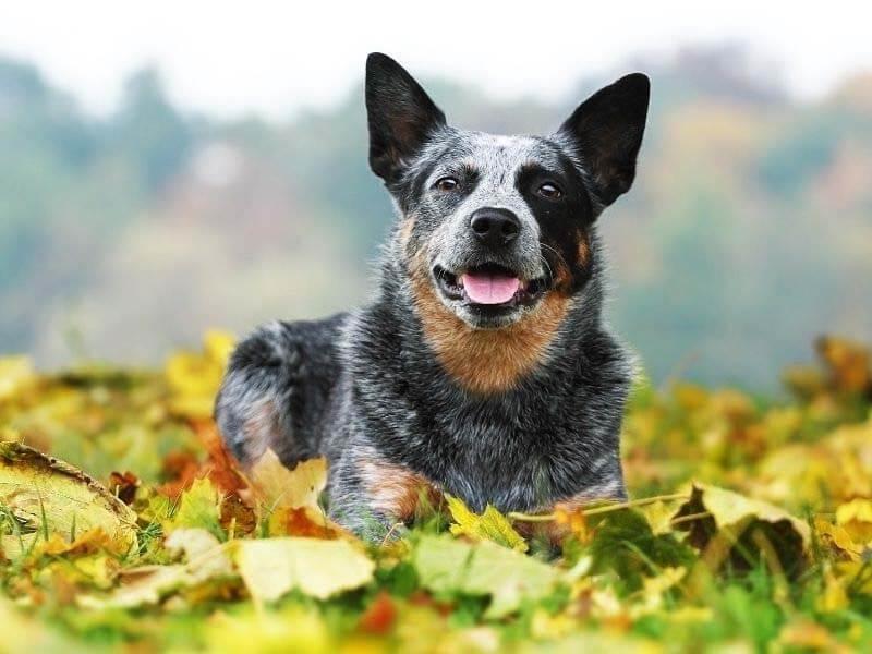 Mini Blue Heeler Dog Breeds