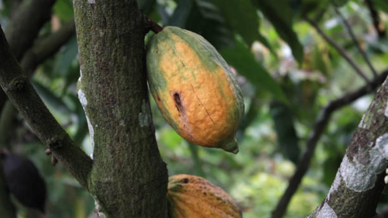 Hama Tanaman Kakao