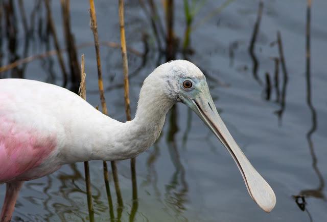 Roseate Spoonbill - Merritt Island, Florida