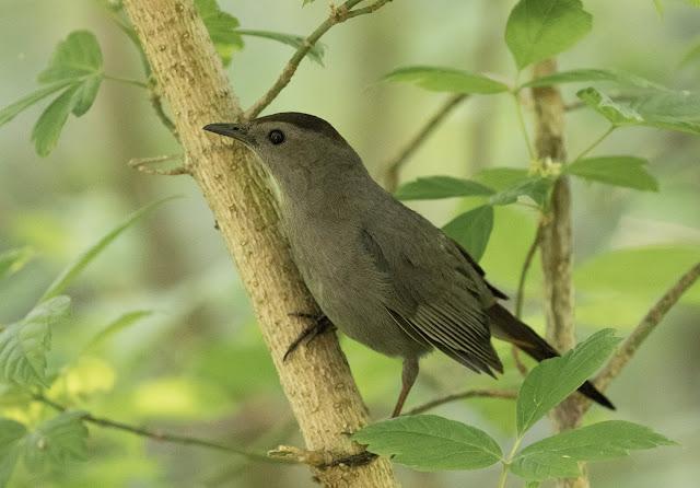 Gray Catbird - Magee Marsh, Ohio, USA