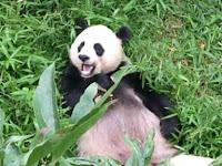 Giant Panda in bamboo field.