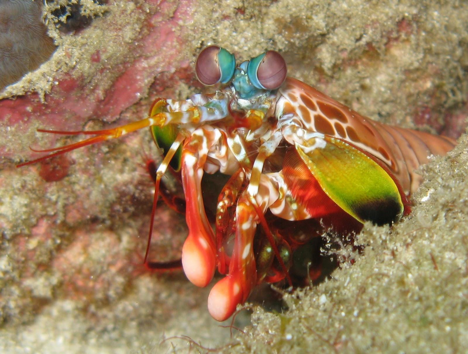 [Imagen: OdontodactylusScyllarus.jpg]