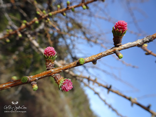 Pink Buds on Larch Tree