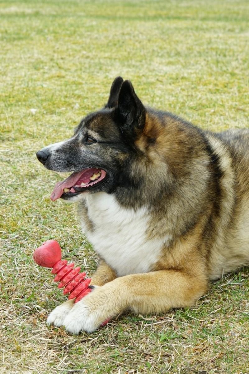 Adoptoitu koira