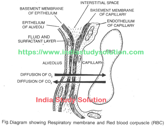 https://www.indiastudysolution.com - Breathing and Respiration images