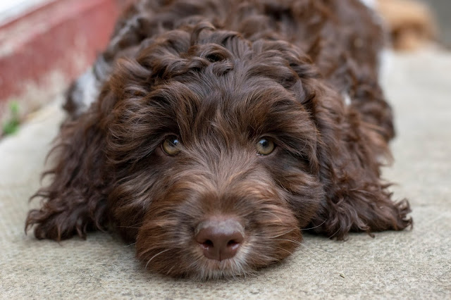 Close up of a brown cockapoo puppy lying on pavement