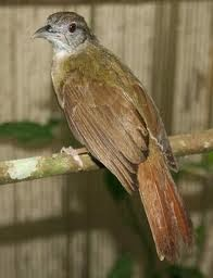 Dunia Kicau Mania Burung Kapas Tembak