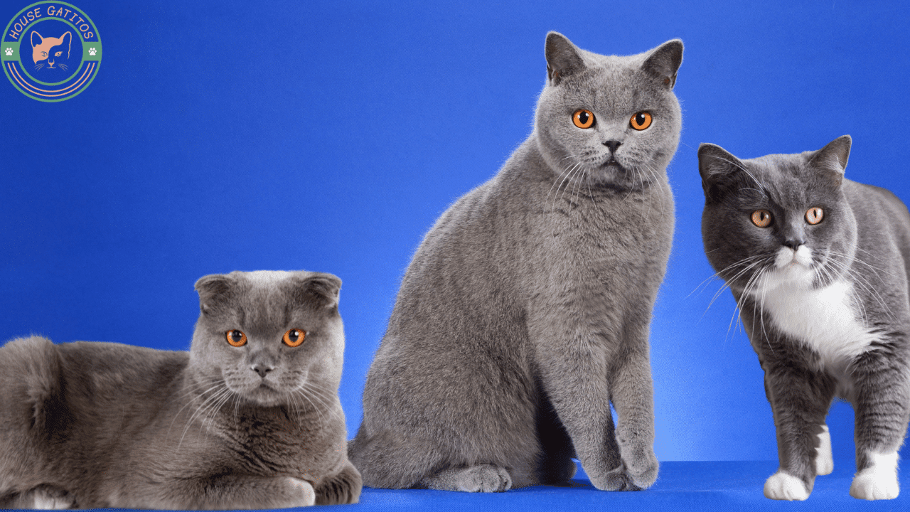 Foto de gato British Shorthair