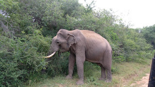 Elephant,Yala National Park,Srilanka