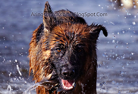 play time over excitement in German Shepherd Dog