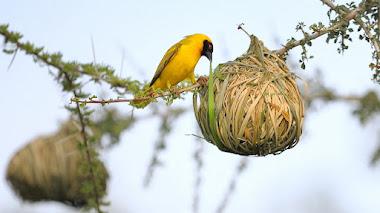 El arte de los pájaros tejedores