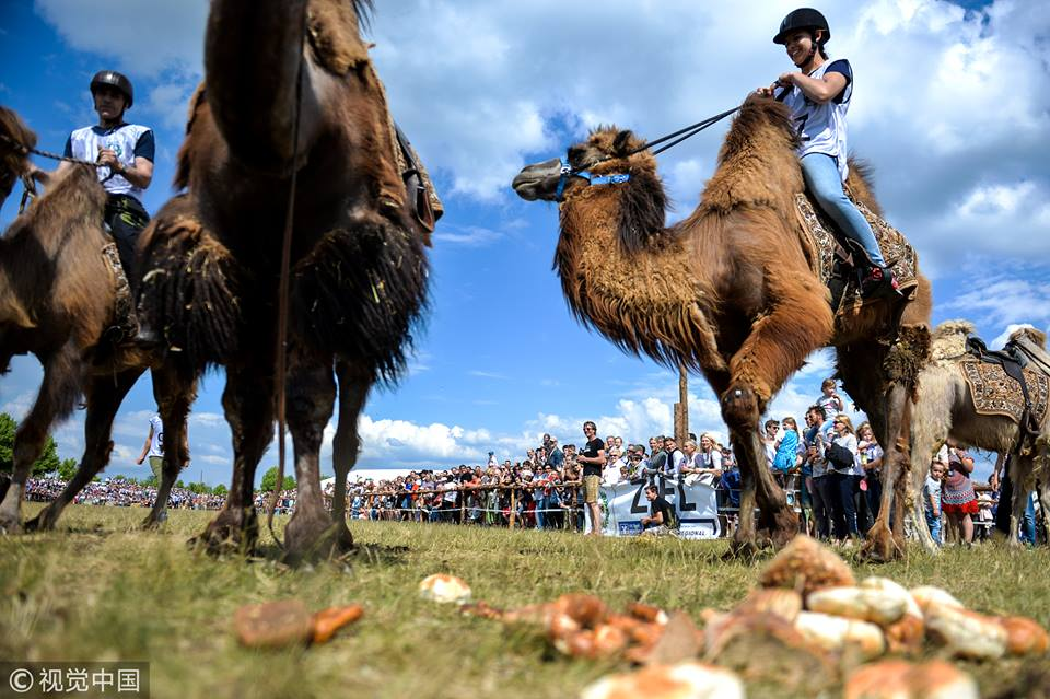 Ox and camel race in Germany