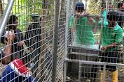 PGE Lakukan Pemindahan 11 Monyet Yaki di Tomohon