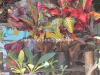 Tanaman Puring