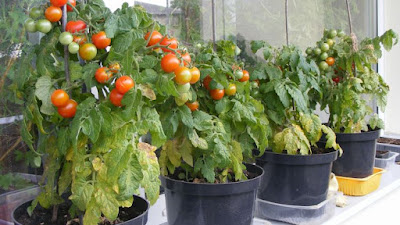 9 Cara Mudah Berkebun Sayur Kontainer