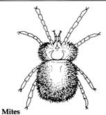 serangga vektor penyakit