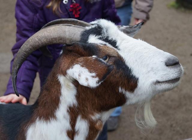 Tierpark Neumünster Ziege Ziegen Streichelzoo Kinder Familie Herbst Winter Frühjahr