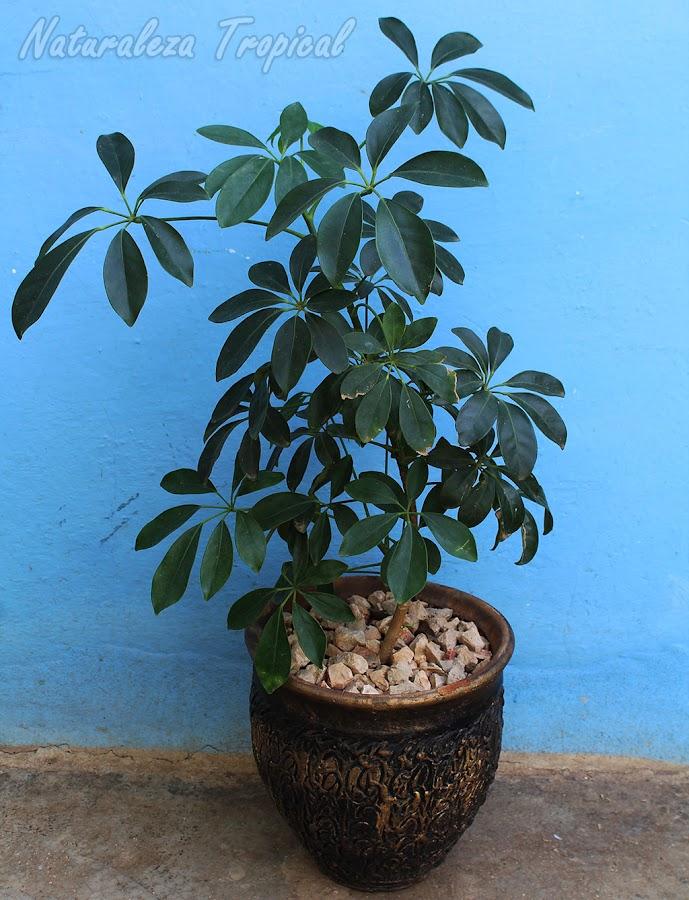 Las chefleras son árboles que puedes mantener en vasijas en el interior del hogar. Schefflera arboricola