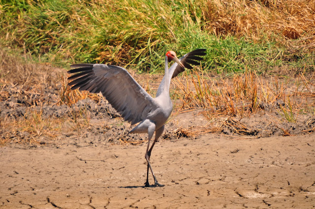 Brolga facts, information and pictures 5