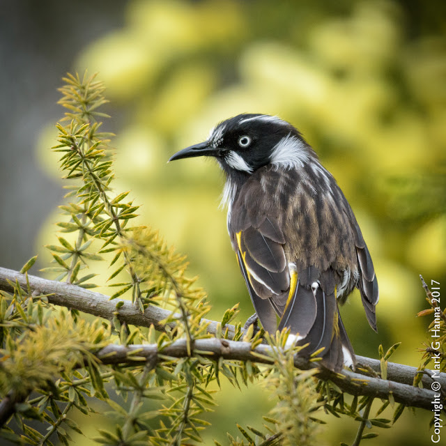 New Holland Honeyeater Phylidonyris novaehollandiae