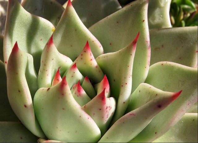 Types Of Echeveria |  Growing And Caring Guide