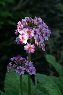 Primula japonica 'Deluxe Mixture'