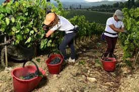 Italy's 'Black Roosters' fight back as coronavirus hit wine sales