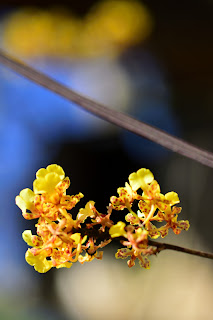 Golden Orchid in Puriscal