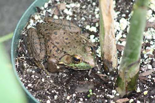 A Green Frog In Toronto Zoo Greenhouse.