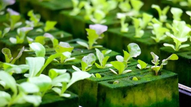 tanaman sawi hijau