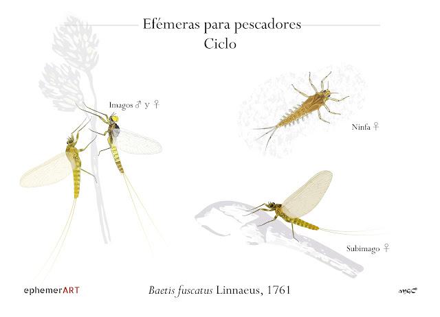 Baetis%2Bfuscatus%2BCiclo - Imitaciones de fuscatus