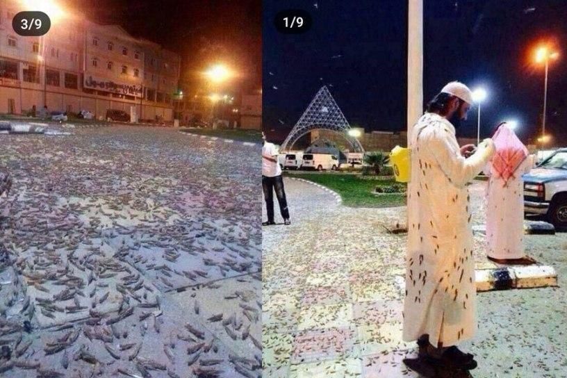 Fenomena Aakah ini?, Masjidil Haram Diserbu Jutaan Belalang Hitam, Apa yang Terjadi?