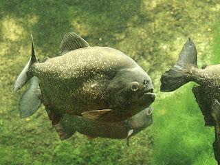 Piranha à ventre rouge - Pygocentrus nattereri - Piranha rouge