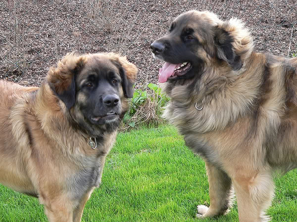 Leonberger - first junior dog meals   All About Dogs