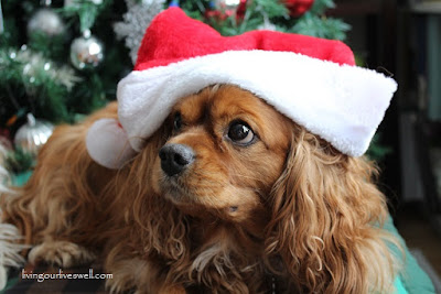 Harley, our Ruby Cavalier King Charles Spaniel
