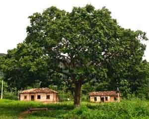 Árvore da castanha de baru